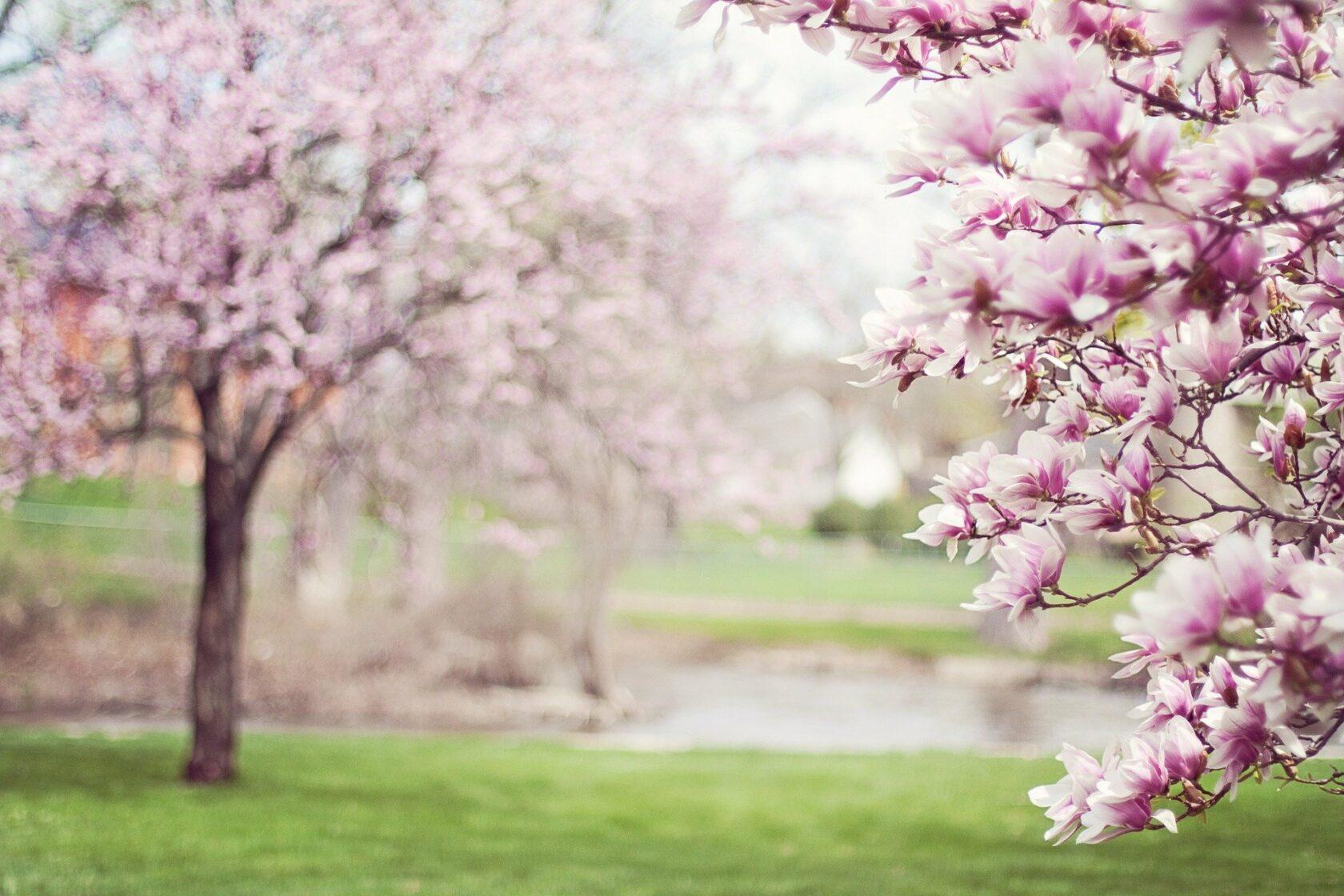 Magnolia Trees 556718 1920